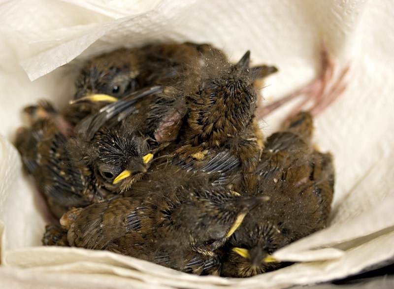 April 30th<br /> <br /> Nestling Wrens. Not all in focus but I just don't see that happening. Just getting feathers you can see some of the feather shafts. When the feathers are comming in it also creates a 'dust', you can see a bit of that to.<br /> <br /> There are 5, 3 are now gaping instead of diving for cover, meaning sticking their head under a siblings butt..Charming
