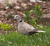 May 15th<br /> <br /> Finally! I have been trying to get a clean shot of this guy for about a month. Usually just the sound of the back door opening sends him off but today...<br /> So what is the big deal, well it's an Eurasian Collared-Dove, an introduced species. While they have migrated north somewhat they aren't suppose to be here.
