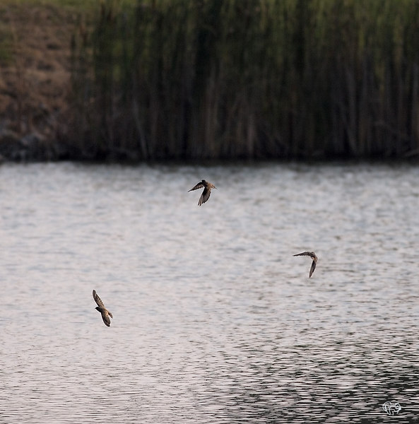 """Sept 12th<br /> <br /> This is like Vandana's Kessy,not as good as her first tho':-)<br /> <br /> Swallows in flight and in focus! YES!<br /> <br /> Cropped more<br /> <br /> <a href=""""http://thusie.smugmug.com/gallery/1239814/10/95060701/Large"""">http://thusie.smugmug.com/gallery/1239814/10/95060701/Large</a><br /> <br /> <br /> More birdie shots here<br /> <br /> <a href=""""http://thusie.smugmug.com/gallery/1239814/10/94752473/Large"""">http://thusie.smugmug.com/gallery/1239814/10/94752473/Large</a>"""
