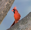 July 1st<br /> <br /> Month changes are rough:-)<br /> <br /> I think this is my best Cardinal shot to date. Now to just get close enough I don't have to crop it to death I'll be happy.