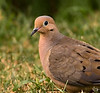 Aug 19th<br /> <br /> Portrait of a Dove<br /> <br /> What you do when you leave half the tail out of the frame.