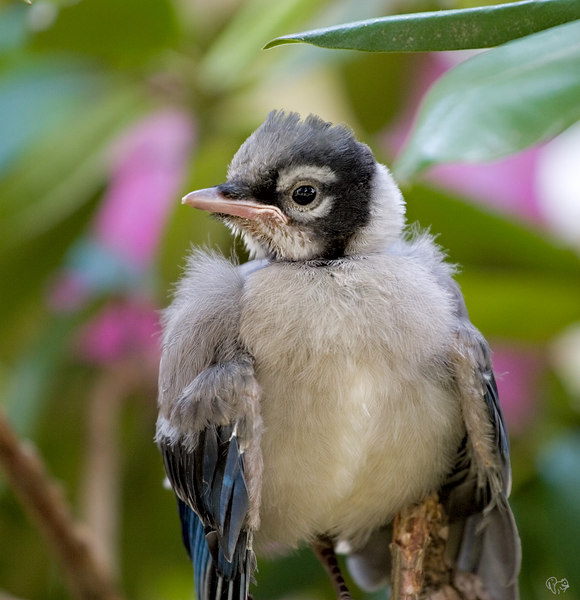 "May 30th<br /> <br /> Fledgling jay that popped from the nest in the blue spruce, he is hanging out in our big Rhodie. His nest mate is branchin' it in the spruce. Parent jays are in attendance and no feedings were missed while I grabbed a few shots:-)<br /> <br /> Ok a picture of me, well here ya go<br /> <br /> <a href=""http://Thusie.smugmug.com/photos/72483220-L.jpg"">http://Thusie.smugmug.com/photos/72483220-L.jpg</a><br /> <br /> Heading out to the back yard<br /> <br /> <a href=""http://Thusie.smugmug.com/photos/72483495-L.jpg"">http://Thusie.smugmug.com/photos/72483495-L.jpg</a><br /> <br /> Trying for a shot as a squirrel comes through the flowers<br /> <br /> <a href=""http://Thusie.smugmug.com/photos/72483659-L.jpg"">http://Thusie.smugmug.com/photos/72483659-L.jpg</a><br /> <br /> For Vandana, me and a young sq.<br /> <br /> <a href=""http://Thusie.smugmug.com/photos/72483792-L.jpg"">http://Thusie.smugmug.com/photos/72483792-L.jpg</a><br /> <br /> That be all folks for at least 10 more years:-)"