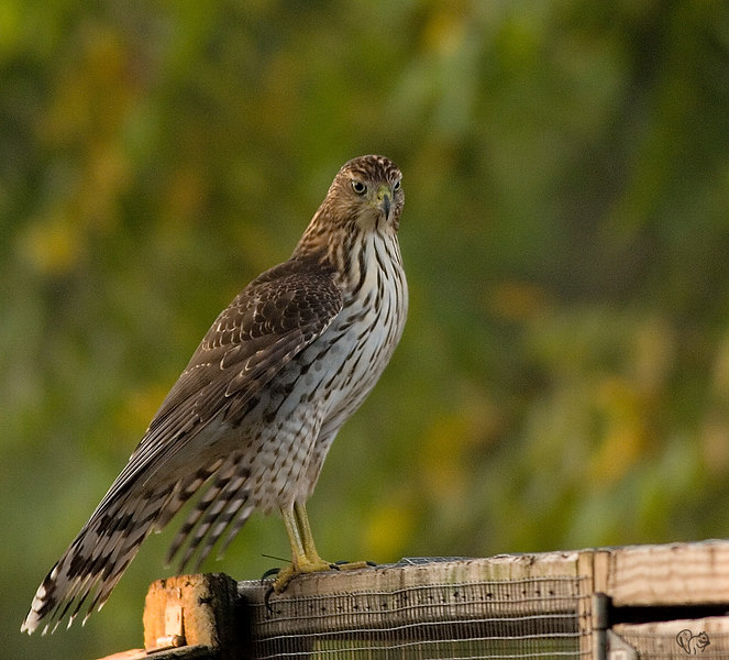 Oct 2nd<br /> <br /> Coopers Hawk early this Am. ISO 1600 and shutter 1/100..Bluch