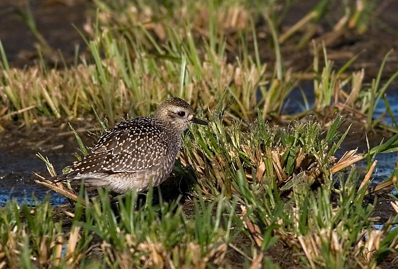 Sept 25th<br /> <br /> A quick trip to the Muni building to pay the water bill yielded this shot..Had to come home and look up what it was/is,an American Golden-Plover.