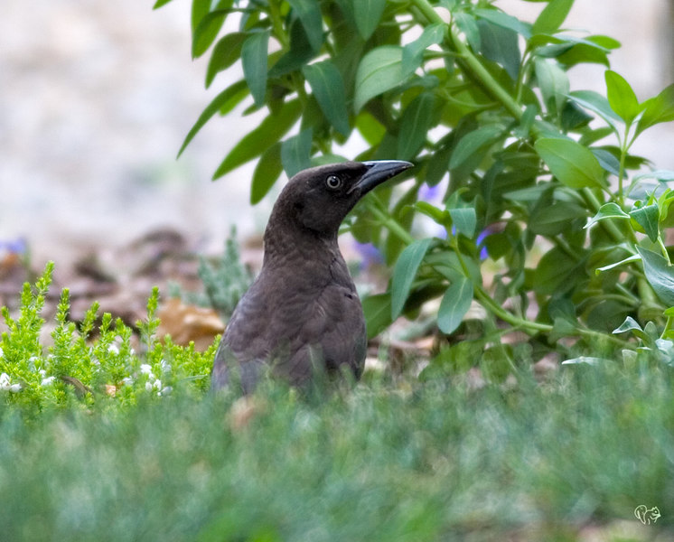 June 19th<br /> <br /> Ohoo lookie it's a Grackle! These guys are spookier than the Cardinals if that is possible. Over the hill head shot and a huge crop, but hey it worked.<br /> <br /> P.S. look at the shutter 1/160th talk about pure luck
