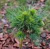 March 3rd<br /> The is one of the conifers Don brought home yesterday, cute little puff ball. I like the growth habit of long and short needles.<br /> <br /> I am starting to wonder what it's like to shoot with sunlight?
