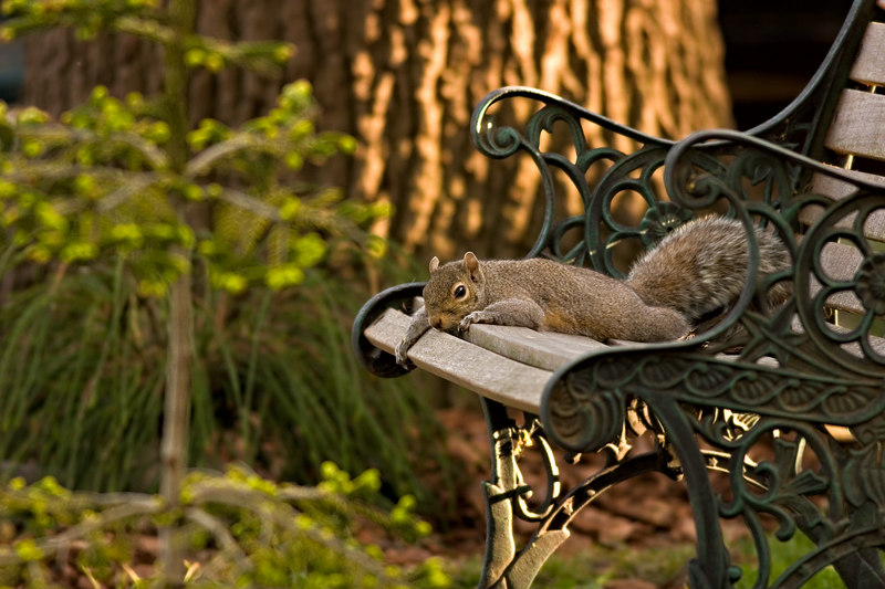 """May 2nd<br /> <br /> Took this yeasterday, did post today..Raining here.<br /> <br /> Mom flopped,lawn furniture is for the squirrels. The youngsters are on the ground for the first time and she is keeping an eye on them. That funky conifer Whipcord is now planted (left side) and makes a great hiding place. Youngster sees human and dives for cover (3 shots)  link to starting shot below.<br /> <br /> <a href=""""http://thusie.smugmug.com/gallery/1254348/4/67451870/Large"""">http://thusie.smugmug.com/gallery/1254348/4/67451870/Large</a>"""