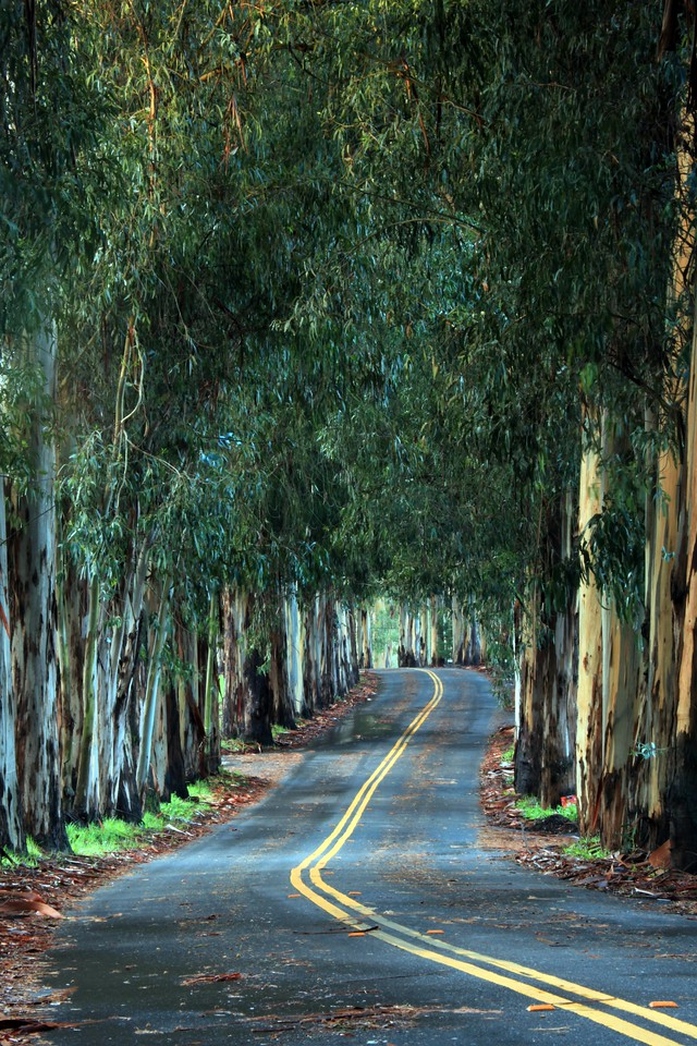 Eucalyptis trees on a coutry road near Oakland, CA.