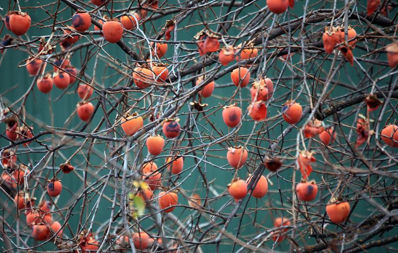 Harvest season gone and yet the fruit remains. Near Lake Shasta, California. Jan 2.
