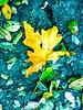 Golden Leaf in Summer?