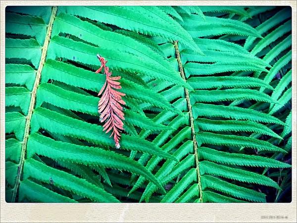 Pine on Fern