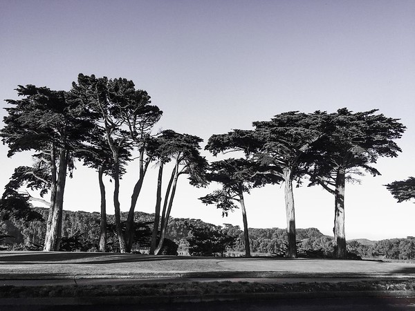Monterey Pines