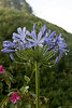 Agapanthus<br /> 11 June 2010<br /> <br /> Dew & overnight rain added to the beauty of this lovely flower at Tea Trails, Sri Lanka.