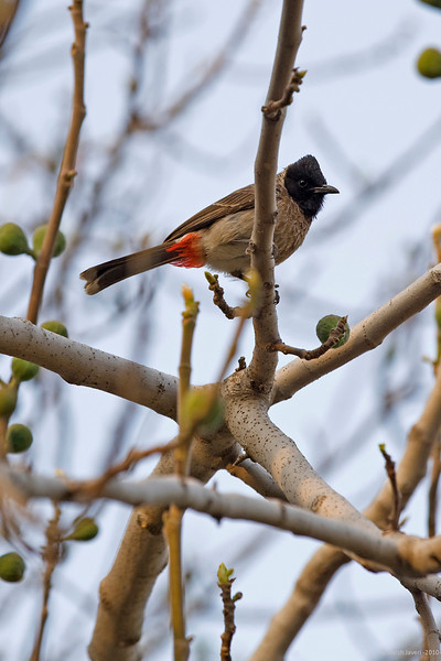 "Red Vented Bulbul<br /> 7 March 2010<br /> Shot at Ranthambhore national park<br /> <br /> This was at quite a height and I've had to crop it a bit.<br /> <br /> <a href=""http://en.wikipedia.org/wiki/Red-vented_Bulbul"">http://en.wikipedia.org/wiki/Red-vented_Bulbul</a><br /> <br /> <a href=""http://en.wikipedia.org/wiki/Ranthambhore_National_Park"">http://en.wikipedia.org/wiki/Ranthambhore_National_Park</a><br /> <br /> <a href=""http://www.tigerwatch.net/"">http://www.tigerwatch.net/</a>"