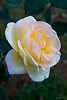 "White rose (Pic 193 2nd year)<br /> <br /> Shot with 60mm Nikkor macro in January at Mahabaleshwar.<br /> This was the natural colour and there's no PP except for little light adjustment.  <br /> <br />  <a href=""http://www.javeri.net"">http://www.javeri.net</a>"