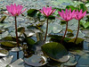 Water lilies<br /> 03 July 2010