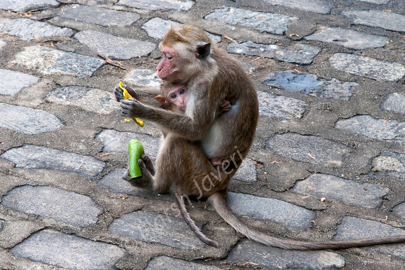 "Monkey with baby (Pic 187 2nd year)<br /> D300 17-55 2.8 at ISO400 f9 1/100<br /> <br /> There were quite a few monkeys at Dambulla (Sri Lanka) rock temple. This mother was eating from a mango peel. In between she would feed the baby too. It's always a risk to go close to any animal who has a younger one nearby so I had to keep a bit of a distance and grab a few shots in a rush. <br /> <br />  <a href=""http://www.javeri.net"">http://www.javeri.net</a>"