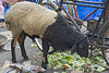 "Waste not!<br /> 15 July 2010<br /> <br /> Shot at Colaba market in South Mumbai.<br /> <br /> for Mary (mcdonegal) I am not too sure but such two toned sheep are not common here. <br /> <br /> <br /> More pics of the market <br /> <br /> <a href=""http://hershy.smugmug.com/Photography/Mumbai-my-city/Misc-shots-of-Mumbai/6410100_x8urE#927521927_tHmQU"">http://hershy.smugmug.com/Photography/Mumbai-my-city/Misc-shots-of-Mumbai/6410100_x8urE#927521927_tHmQU</a>"