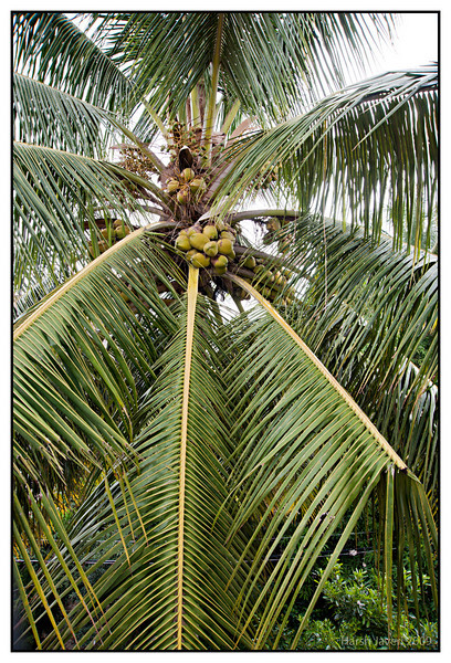 "Coconut tree (Pic 255 2nd year - 30  2Sept 09)<br /> <br /> This was shot from a terrace garden in Bengaluru (Bangalore) early this month.<br /> What I liked was the unusual angle & perspective. <br /> <br /> more pictures at Bengaluru gallery <br /> <br />  <a href=""http://hershy.smugmug.com/Travel/Bengaluru-Bangalore/9662410_xWbG8/1/659473319_MMhqW"">http://hershy.smugmug.com/Travel/Bengaluru-Bangalore/9662410_xWbG8/1/659473319_MMhqW</a><br /> <br />  <a href=""http://www.javeri.net"">http://www.javeri.net</a>"