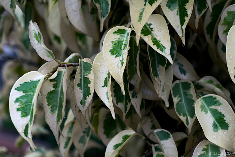 "variegated ficus benjamina  (Pic 256 2nd year - 01 Oct 2009)<br /> <br /> This was shot from a terrace garden in Bengaluru (Bangalore) early this month.<br /> <br /> more pictures at Bengaluru gallery <br /> <br />  <a href=""http://hershy.smugmug.com/Travel/Bengaluru-Bangalore/9662410_xWbG8/1/659473319_MMhqW"">http://hershy.smugmug.com/Travel/Bengaluru-Bangalore/9662410_xWbG8/1/659473319_MMhqW</a><br /> <br />  <a href=""http://www.javeri.net"">http://www.javeri.net</a>"