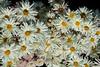 Chrysanthemums <br /> 27 Feb 2010<br /> Nikon D70