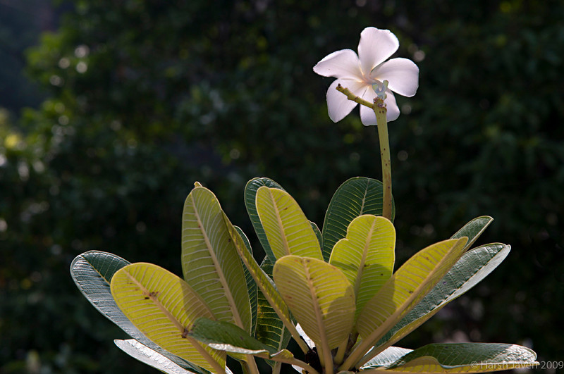 "Frangipani (Pic 253 2nd year - 28 Sep 2009)<br /> <br /> Shot in Bengaluru (Bangalore) early this month. <br /> <br /> more pictures at Bengaluru gallery <br /> <br />  <a href=""http://hershy.smugmug.com/Travel/Bengaluru-Bangalore/9662410_xWbG8/1/659473319_MMhqW"">http://hershy.smugmug.com/Travel/Bengaluru-Bangalore/9662410_xWbG8/1/659473319_MMhqW</a><br /> <br />  <a href=""http://www.javeri.net"">http://www.javeri.net</a>"