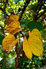 "Leaves (Pic 321 2nd year - 17 Dec 2009)<br /> no PP except slight light & colour adjustments. <br /> Shot last week at my cousin's garden in Ahmedabad. <br /> <br />  <a href=""http://www.javeri.net"">http://www.javeri.net</a>"