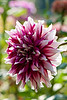 "Dahlia <br /> July 18 (039 2nd year)<br /> <br /> Lavanya, you commented yesterday that you love Dahlias and asked to share a pic, so this is for YOU!  <br /> <br /> This was shot in December last year with 105 macro at ISO 400 with f6.3 and 1/250<br /> Unfortunately this year cousin's garden does not have many flowers and my tips have also been less. :(   There are three more Dahlia shots here: <br /> <br /> <br /> <a href=""http://hershy.smugmug.com/gallery/6972999_iVPCh/1/573557461_cCnjt/Large"">http://hershy.smugmug.com/gallery/6972999_iVPCh/1/573557461_cCnjt/Large</a><br /> <br /> <a href=""http://hershy.smugmug.com/gallery/6972999_iVPCh/1/527019649_UxxQw/Large"">http://hershy.smugmug.com/gallery/6972999_iVPCh/1/527019649_UxxQw/Large</a><br /> <br /> <a href=""http://hershy.smugmug.com/gallery/6972999_iVPCh/1/496319893_vPtwi/Large"">http://hershy.smugmug.com/gallery/6972999_iVPCh/1/496319893_vPtwi/Large</a><br /> <br /> <br />  <a href=""http://www.javeri.net"">http://www.javeri.net</a>"