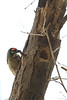"Coppersmith Barbet<br /> 6 March 2010<br /> Shot at Ranthambhore national park<br /> <br /> This was at quite a height and I've had to crop it quite a bit. <br /> <br /> <a href=""http://en.wikipedia.org/wiki/Ranthambhore_National_Park"">http://en.wikipedia.org/wiki/Ranthambhore_National_Park</a><br /> <br /> <a href=""http://www.tigerwatch.net/"">http://www.tigerwatch.net/</a><br /> <br /> <a href=""http://en.wikipedia.org/wiki/Coppersmith_Barbet"">http://en.wikipedia.org/wiki/Coppersmith_Barbet</a>"