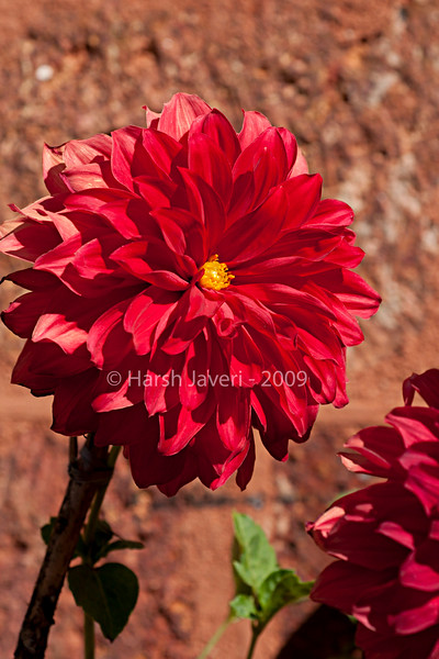"""Dahlia for Lavanya (Pic 205 2nd year)<br /> <br /> This beautiful Dahlia was shot it the garden of Mahabaleshwar Club with 60mm Nikkor macro<br /> <br />  <a href=""""http://www.javeri.net"""">http://www.javeri.net</a>"""