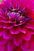 "Dahlia (Pic 332 2nd year - 29 Dec 2009)<br /> No crop - pp <br /> <br /> Shot in cousin's garden at Ahmedabad earlier this month.<br /> <br /> Came across this interesting piece on HDR images: <br /> <br /> The Definitive Guide to Realistic High Dynamic Range Images  <br /> <br />  <a href=""http://www.flickr.com/groups/l4/discuss/72157594241560739/"">http://www.flickr.com/groups/l4/discuss/72157594241560739/</a><br /> <br /> <br />  <a href=""http://www.javeri.net"">http://www.javeri.net</a>"