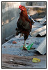 "Rooster (Pic 292 2nd year - 16 Nov 2009)<br /> <br /> Shot at Dhobi ghat <br /> <br /> Hello everyone! Got back late Saturday night from a wonderful vacation with Swarup in Bangkok & Koh Samui in Thailand. Could not shoot as many pictures as I would have liked to as this was HER holiday!  Will share them soon.  <br /> <br />  <a href=""http://www.javeri.net"">http://www.javeri.net</a>"