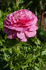 """Rananculus (Pic 349 2nd year - 15 Jan 2010)<br /> <br /> This is one more shot from my cousin's garden when I was checking out the Nikon D70.<br /> <br />  <a href=""""http://www.javeri.net"""">http://www.javeri.net</a>"""
