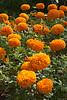 "Marigolds - (Pic 352 2nd year - 18 Jan 2010)<br /> <br /> Nikon D70 shot<br /> <br /> <br />  <a href=""http://www.javeri.net"">http://www.javeri.net</a>"