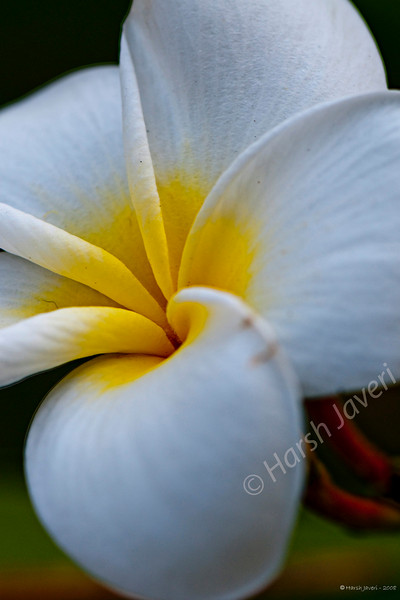 Frangipani <br /> (017 2nd year)<br /> D300 with 105 macro ISO 400 f8 1/125<br /> <br /> No crop or PP except for slight light adjustment.<br /> This was shot in December (processed now!) at my cousin's garden.<br /> <br /> javeri.net