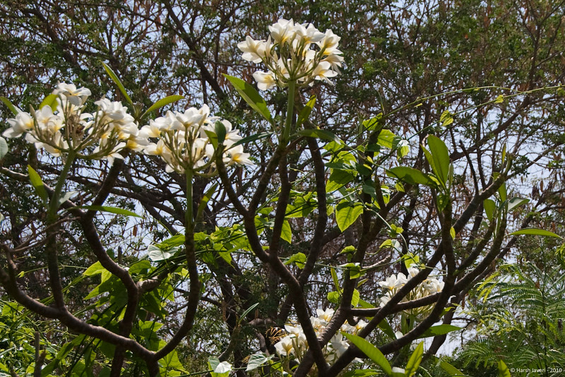 "Frangipani<br /> Original shot in Daily 21- April 2010:  <br /> <a href=""http://hershy.smugmug.com/gallery/6972999_iVPCh#837742528_jxahB"">http://hershy.smugmug.com/gallery/6972999_iVPCh#837742528_jxahB</a>"