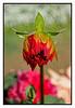 "4th year Pic 071 - Jan 28 2012 <span style=""color:yellow"">Budding Dahlia </span> - Koteshwar Jan 2012  Olympus E-P3"
