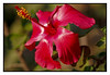 "4th year Pic 085 - Feb 16 2012 <span style=""color:yellow"">Hibiscus</span>  - Koteshwar   - 29 Jan 2012, Olympus E-P3  SOOC"