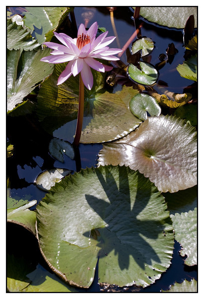 """4th year Pic 057 - Jan 10 2012 <span style=""""color:yellow"""">Water lily </span> Alibag  (Nov 2011)"""