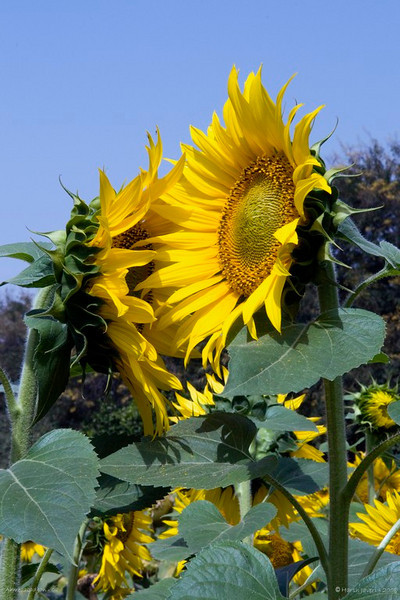 """Nice to meet you!<br /> Sunflowers at cousin's garden in Ahmedabad. <br /> <br />  <a href=""""http://www.javeri.net"""">http://www.javeri.net</a>"""
