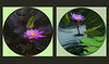 """159 3rd Oct<br /> Water Lily globes.<br /> <br /> The two water lilies were shot with D300 in July 08 at cousin's garden. Converted thru Flexi Filter and put together. My first attempt! <br /> <br /> Here are the 'straight' pictures:<br /> <br />  <a href=""""http://hershy.smugmug.com/gallery/5708489_3Uoij/1/371042595_RXPqL/Large"""">http://hershy.smugmug.com/gallery/5708489_3Uoij/1/371042595_RXPqL/Large</a><br /> <br />  <a href=""""http://hershy.smugmug.com/gallery/5708489_3Uoij/1/371042479_XyqmS/Large"""">http://hershy.smugmug.com/gallery/5708489_3Uoij/1/371042479_XyqmS/Large</a><br /> <br /> Thanks John!<br /> <br />  <a href=""""http://www.javeri.net"""">http://www.javeri.net</a>"""