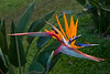 """261 - Feb 08<br /> Bird of Paradise <br /> D300 18-105mm ISO 800 f5.6 1/100<br /> <br /> At Orange County.<br /> Read more about it at <br />  <a href=""""http://www.orangecounty.in/coorg/home.php"""">http://www.orangecounty.in/coorg/home.php</a><br /> <br /> More pictures of Orange County at <br />  <a href=""""http://hershy.smugmug.com/gallery/7153235_Xgchf/1/459017606_kfsK9"""">http://hershy.smugmug.com/gallery/7153235_Xgchf/1/459017606_kfsK9</a><br /> <br /> ++++++++++++++++++ Please note ++++++++++++++++++ <br /> <br /> Today is son Jay's engagement! So, am gong to be busy this 3 days so please excuse my lack of comments.<br /> <br /> <br /> <br />  <a href=""""http://www.javeri.net"""">http://www.javeri.net</a>"""