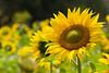 "Soaking it in.<br /> Sunflower shot at my cousin's garden in Ahmedabad. <br /> <br />  <a href=""http://www.javeri.net"">http://www.javeri.net</a>"