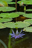 """186 30th Oct<br /> Reflection <br /> <br /> D300 70-200 2.8 ISO 400 at f8. 1/80 sec<br /> <br /> Water Lily at cousin's garden<br /> <br />  <a href=""""http://www.javeri.net"""">http://www.javeri.net</a>"""
