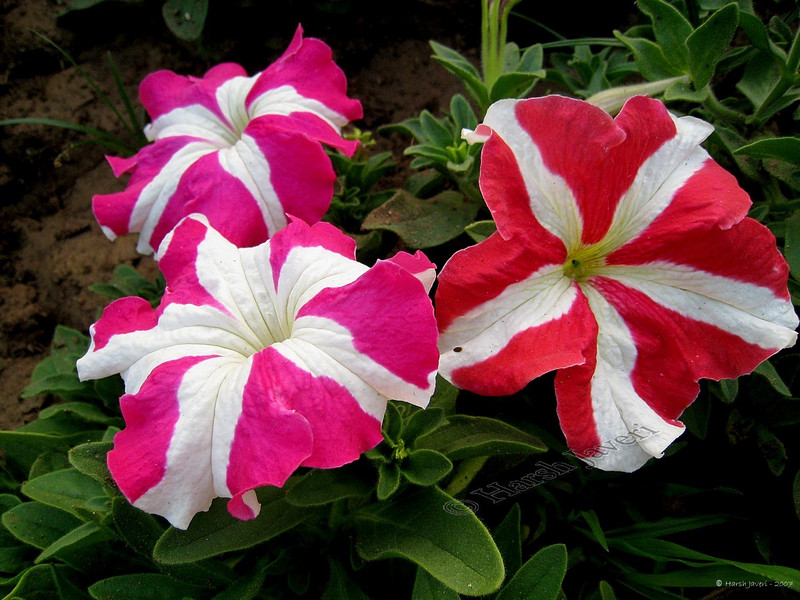 """Petunias<br /> <br /> Shot at my cousin's garden in Ahmedabad.<br /> <br />  <a href=""""http://www.javeri.net"""">http://www.javeri.net</a>"""