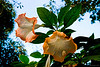 """269 - Feb 16<br /> Datura <br /> <br /> D300 18-105mm ISO 400 f8 1/100<br /> <br /> Shot at Orange County. The flowers were really big, about 6"""" long and were beautifully coloured. There is no PP except for a bit of a crop & light adjustment. <br /> <br /> <br /> More pictures of Orange County at <br /> <br />  <a href=""""http://hershy.smugmug.com/gallery/7153235_Xgchf/1/459017606_kfsK9"""">http://hershy.smugmug.com/gallery/7153235_Xgchf/1/459017606_kfsK9</a><br /> <br />  <a href=""""http://www.javeri.net"""">http://www.javeri.net</a>"""