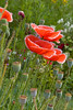 "Poppies<br /> Shot at my cousin's garden in Ahmedabad.<br /> <br /> <br />  <a href=""http://www.javeri.net"">http://www.javeri.net</a>"