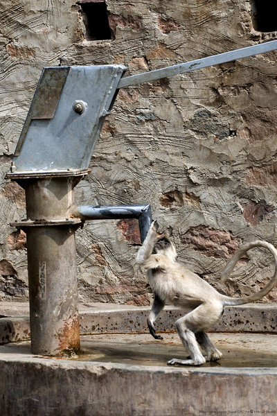 """359<br /> Gray Langur <br /> Ranthambhore National Park, India<br /> <br /> This was shot a while back just outside the park (jungle).  The monkey was thirsty AND clever - drinking straight from the hand pump! <br /> <br /> <br /> ==== THANKS ====<br /> Thanks to all who commented on yesterday's water colours hot of  Heliconia.  I'll keep the suggestions in mind when I attempt another one. <br /> <br />  <a href=""""http://www.javeri.net"""">http://www.javeri.net</a>"""