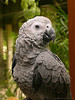 "Diva<br /> African Grey Parrot (Psittacus erithacus)<br /> Diva was a surprise birthday gift to my cousin from his sons. Diva is adorable! She takes time to 'know' you but once she is comfortable, she is fine. When you say 'Kissy kissy' she'll put her head down so you can pet her.<br /> <br /> This is another picture selected by an internal jury at Leica Fotografie Int'l. in ""Master Shots"" gallery of Leica Digilux section.<br />  <a href=""http://www.lfi-online.de/gallery/index.php?home"">http://www.lfi-online.de/gallery/index.php?home</a>〈=english<br /> <br /> The African Grey Parrot is popular as a pet or companion parrot, especially the Congo African Grey Parrot, partly because of its ability to imitate speech. <br /> for details <br />  <a href=""http://en.wikipedia.org/wiki/African_grey#Mimicry_and_intelligence"">http://en.wikipedia.org/wiki/African_grey#Mimicry_and_intelligence</a><br /> <br /> <br />  <a href=""http://www.javeri.net"">http://www.javeri.net</a>"