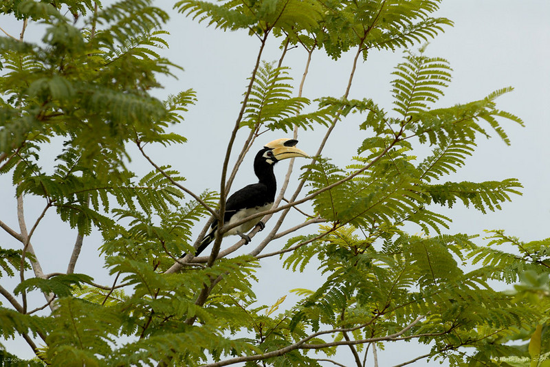 "Hornbill <br /> (taken on an overcast day)<br /> Langkawi, Malaysia<br /> <br />  <a href=""http://www.javeri.net"">http://www.javeri.net</a>"